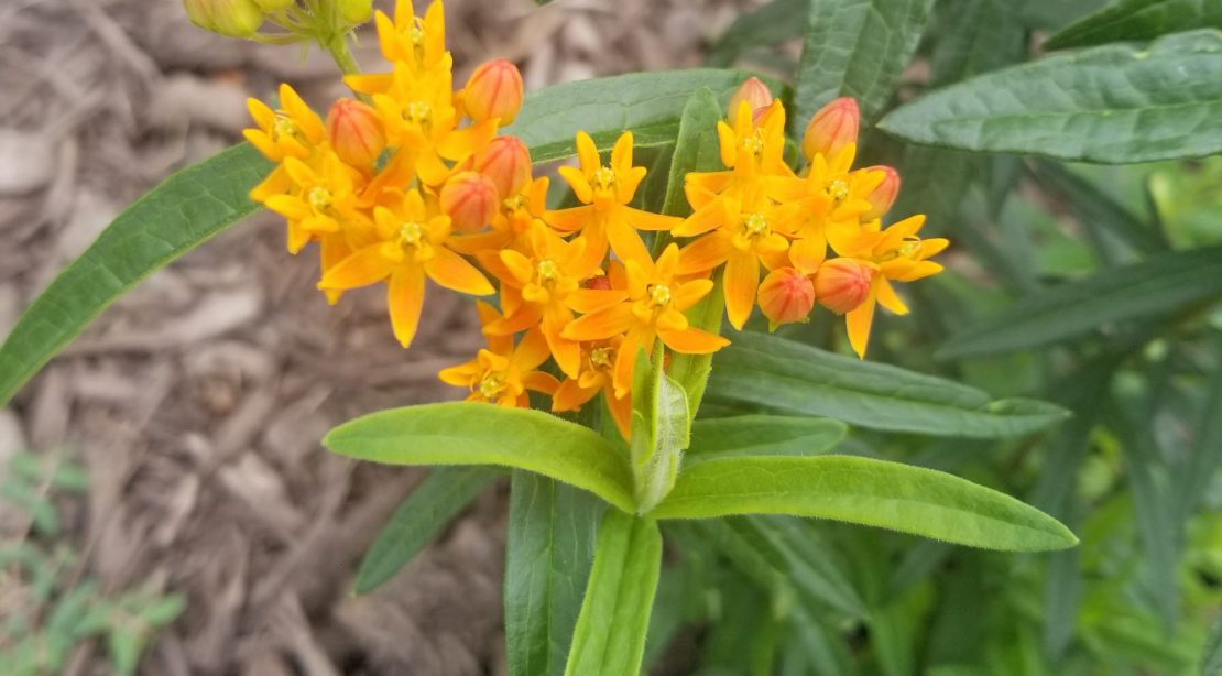 ascelpias tuberosa or butterfly weed