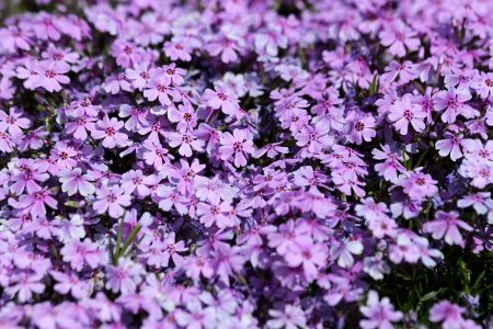 Phlox subulate flowers